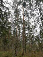 Pesapuu maapinnalt vaadatuna (mõõdulatiks Urmas - 1.90m).